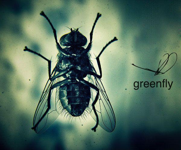 greenfly2